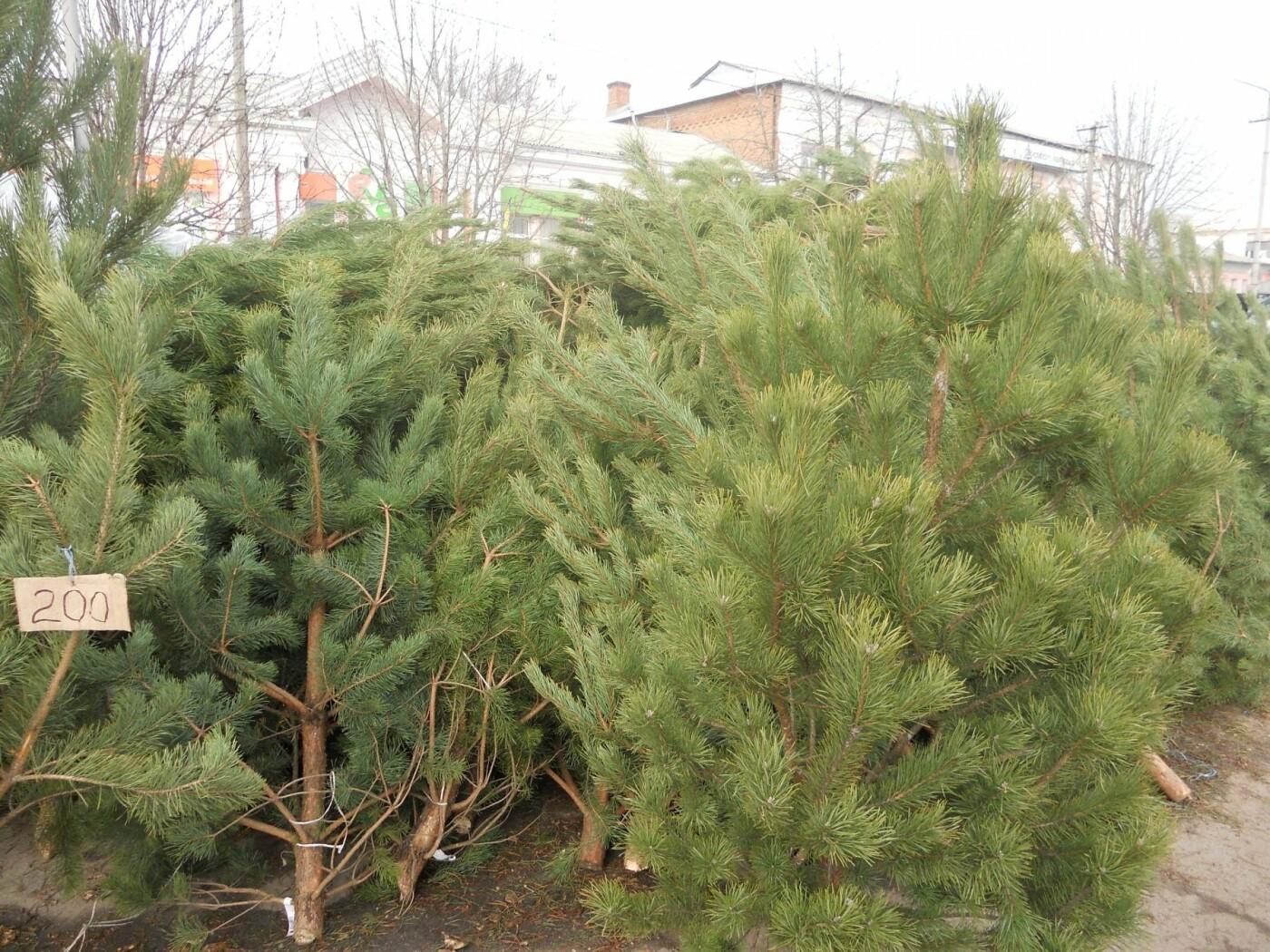 В Новомосковске началась продажа новогодних сосен, фото-2
