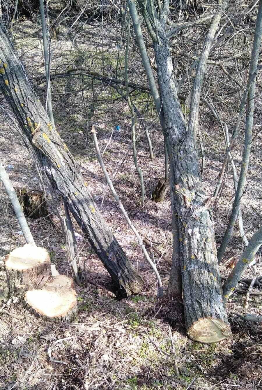 """У Губиниській ОТГ   """"із небаченою нахабністю у варварський спосіб вирізаються вщент дерева"""" , фото-5"""
